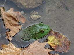 Bullfrog in Missouri