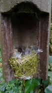 A blue tit nest, from studies of bird cognition and breeding in County Cork, Ireland