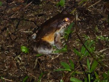 Leptodactylus pentadactylus, the smokey jungle frog
