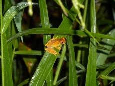 Female Dendropsophus ebraccatus in Costa Rica