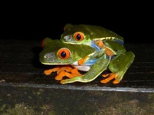 Red eyed treefrogs, Agallychnis callidryas, in Costa Rica