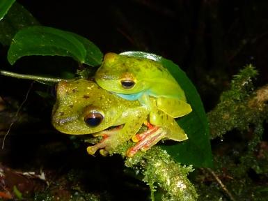 Mating pair of Hypsiboas rufitelus at La Selva, Costa Rica