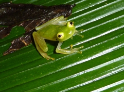 An amazing glass frog in Costa Rica