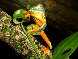 Cruziohyla calcarifer at La Selva, Costa Rica