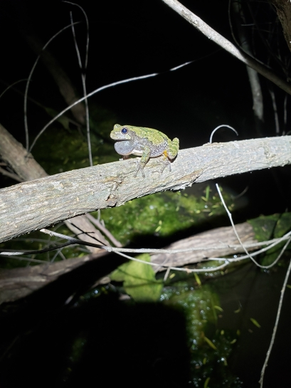 Calling male Hyla chrysoscelis