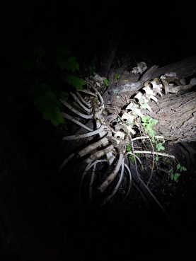 Deer skeleton, McPherson Pond
