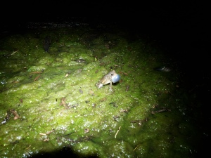 Toad explosion, McPherson Pond