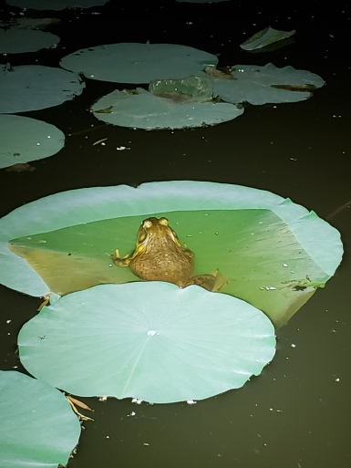 Heavy bullfrog, McPherson Pond